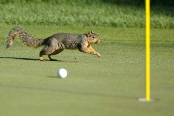 131514-a-squirrel-runs-past-angel-cabreras-ball-on-the-12th-green-during-the-