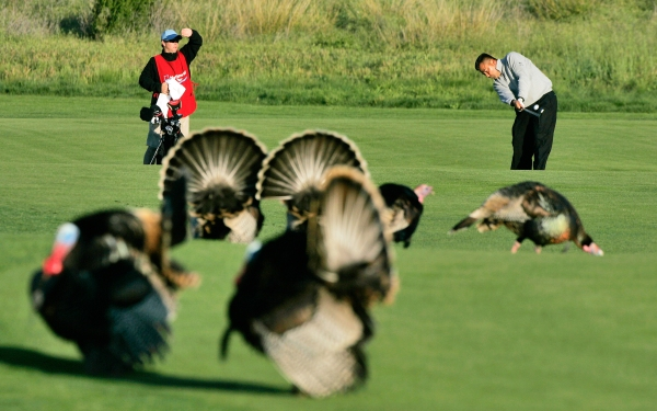 UNITED STATES - MARCH 30: David Berganio, Jr. hits past a gallery of turkeys during the second round of the Livermore Valley Wine Country Championship held at The Course at Wente Vineyards in Livermore, California, on March 23, 2007. (Photo by Stan Badz/PGA)
